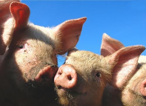 piggies-pigs-pigletts-1131168-l1